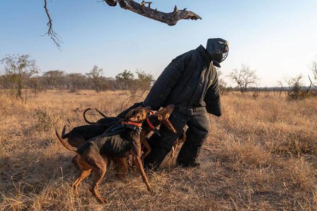 'Thủ lĩnh' cũng như người thầy của đơn vị K9 đặc biệt này chính là Johan van Straaten đến từ trường Cao đẳng Động vật hoang dã Nam Phi, anh đã trực tiếp huấn luyện những chú chó này để có thể xử lý và phản ứng nhanh với mọi tình huống có thể xảy ra trong quá trình chúng thực hiện công việc của mình tại Công viên quốc gia Greater Kruger.