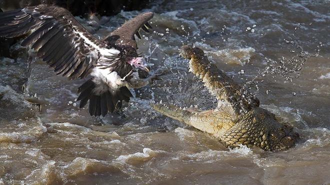 Cá sấu tấn công kền kền. Ảnh: Pinterest