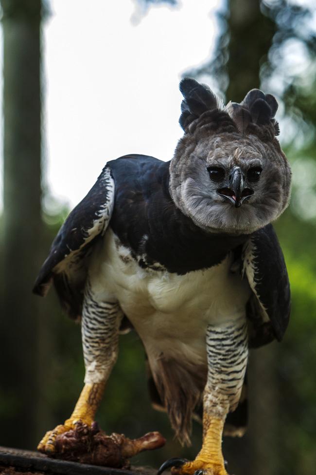 Chiều cao của đại bàng Harpy từ 86,5-107cm và có sải cánh dài 1,76- 2,24m.