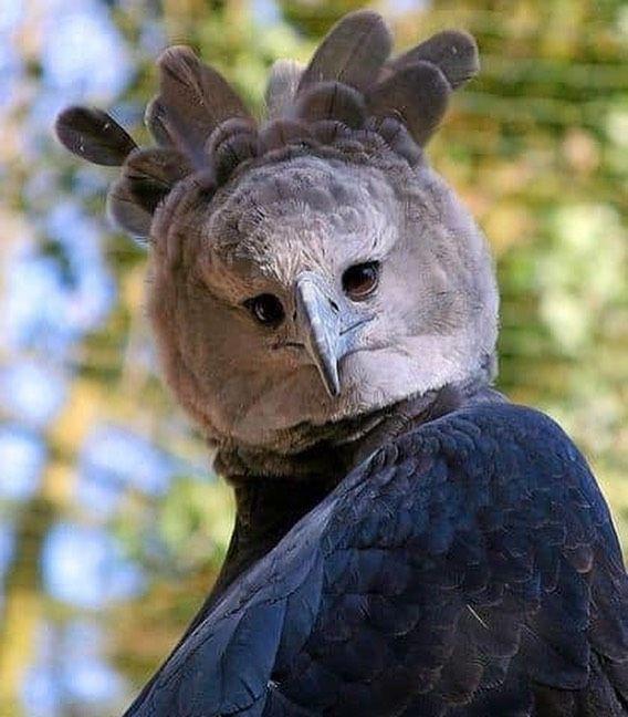 Ngoài kích thước to lớn, đại bàng Harpy còn thu hút sự chú ý với gương mặt có nhiều biểu cảm.