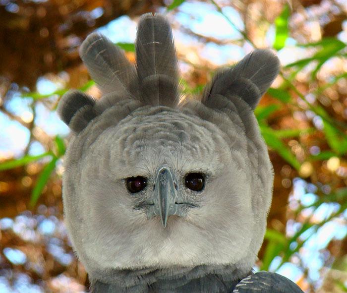 Vì thế, nhiều người còn nhận xét đại bàng Hapry giống hệt con người đang mặc đồ hóa trang.