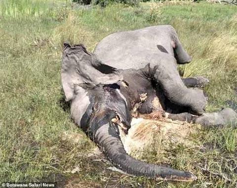 Hơn 100 con voi chết bí ẩn khiến giới khoa học hoang mang