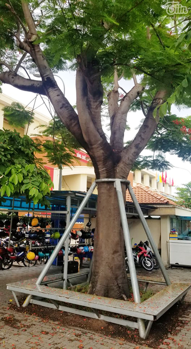 Trường học ở Sài Gòn quyết tâm giữ lại bóng mát phượng vĩ cho học trò: Chưa phải đốn bỏ một cây nào 0