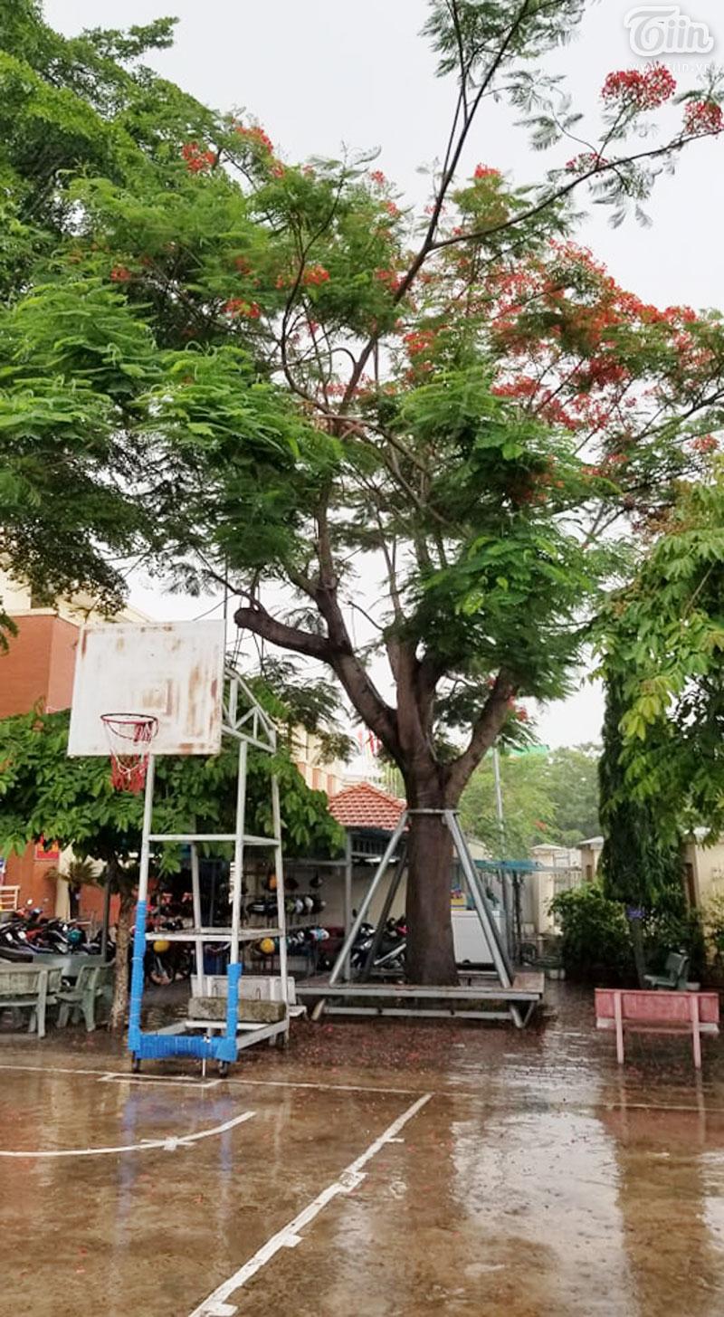 Trụ đứng kiên cố bao quanh cây phượng khi nắng, khi mưa...