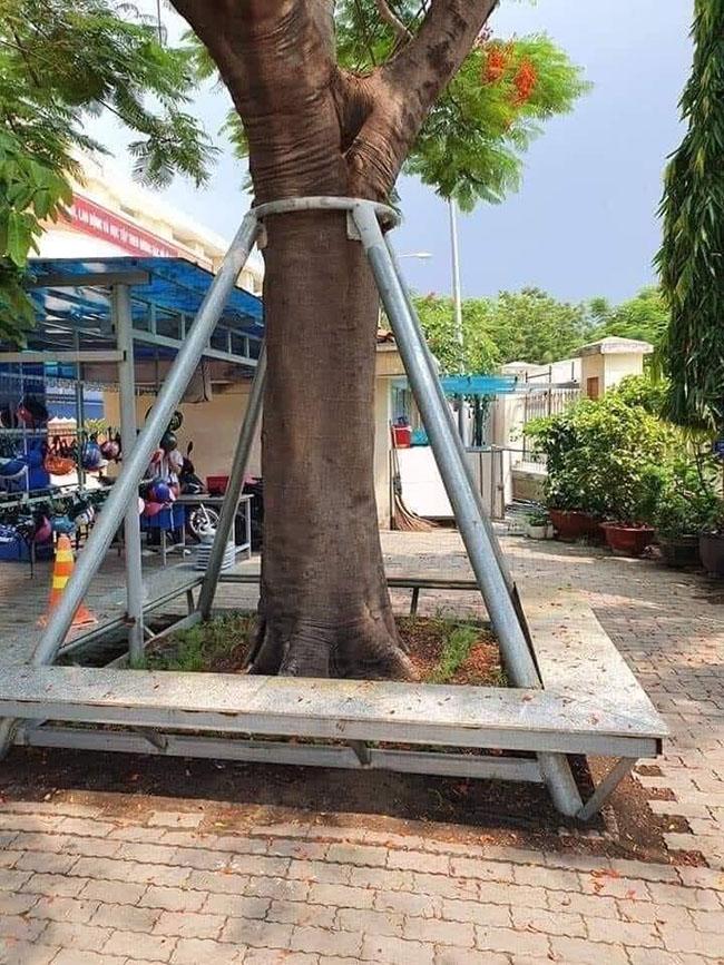 Các trường bắt đầu dựng cột chống cho cây khỏi ngã, đổ