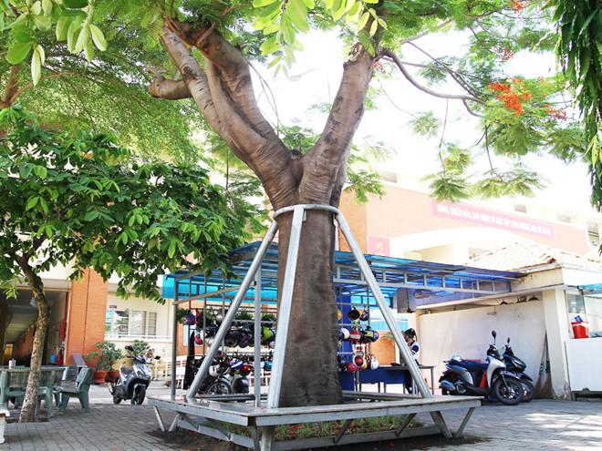 Trường THCS Lê Văn Tám gia cố cây bằng cột chống