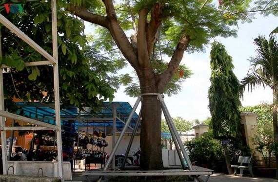 Nhiều trường tìm cách gia cố, chống đỡ cho cây thay vì đốn chặt hàng loạt 5