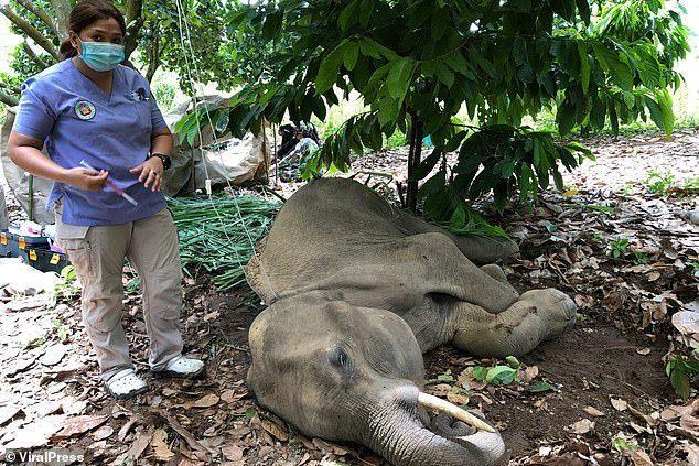 Chú voi sau đó đã qua đời vì hành vi của con người.
