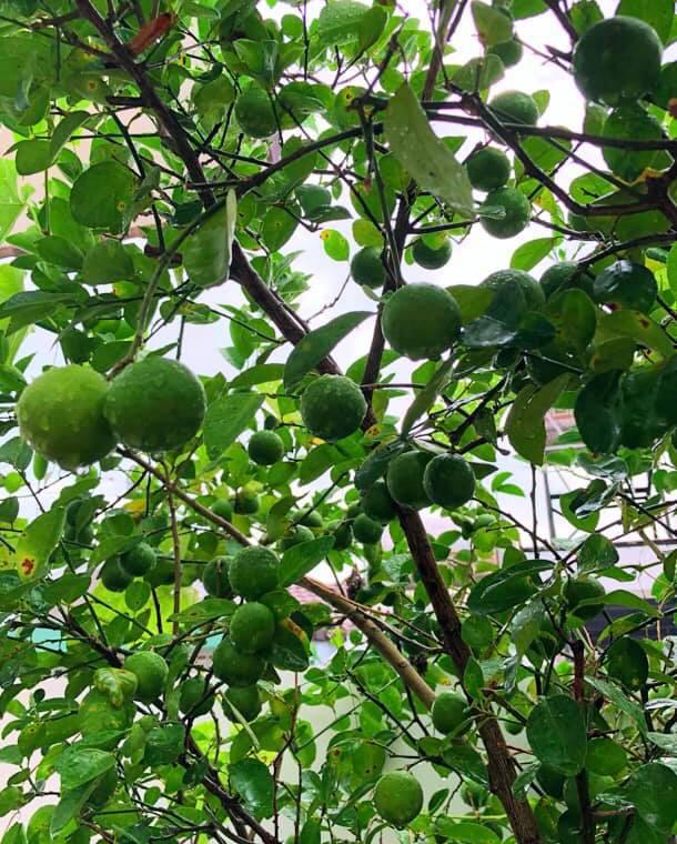 Bà xã Quyền Linh khoe thành quả thu hoạch hoa trái sai trĩu trong căn biệt thự 21 tỷ, được cả chồng lẫn 2 cô con gái xinh đẹp phụ giúp 15