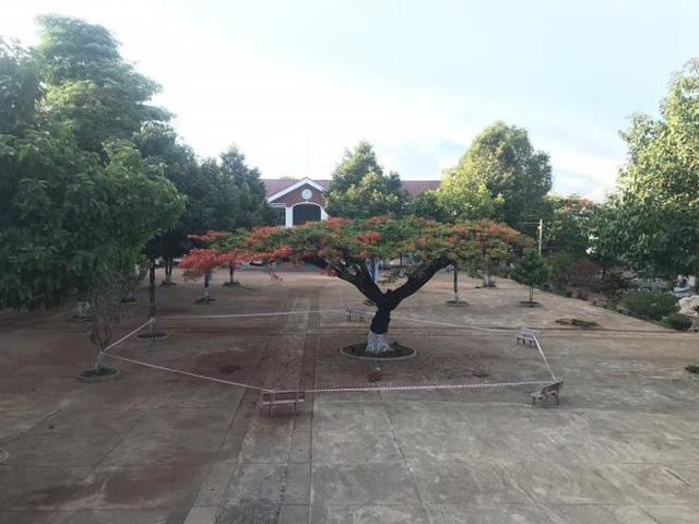 Chăng dây cảnh báo nguy hiểm quanh cây phượng giữa sân trường.