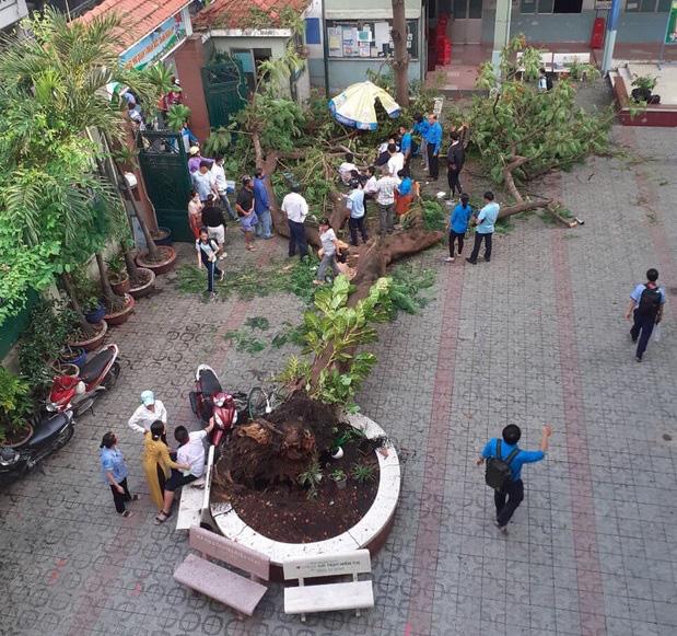 Cây phượng bật gốc tại trường THCS Bạch Đằng (TP.HCM) bao bọc bởi bồn cây, sân trường lát gạch.
