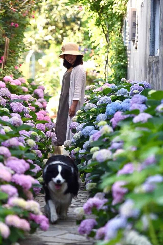 Lối đi ngập hoa cẩm tú cầu.