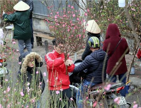 Một cành đào nhiều lộc, nụ và hoa như thế này cũng chỉ có giá 300.000 đồng.