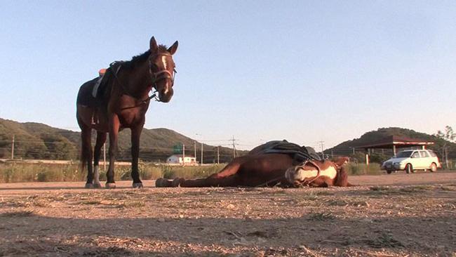 Con ngựa lười nhất thế giới: Hễ ai đòi cưỡi là giả vờ chết 8