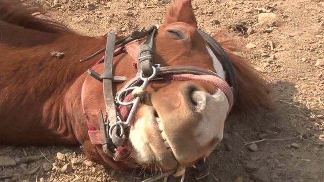 Con ngựa lười nhất thế giới: Hễ ai đòi cưỡi là giả vờ chết 12