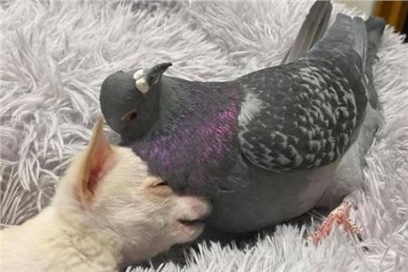 Chó không biết đi và bồ câu không biết bay trở thành bạn thân trong trại thú mồ côi 2
