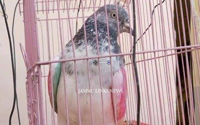 Chim bồ câu bị giam giữ vì tội gián điệp 0