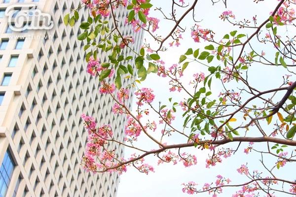 Sài Gòn tháng 4 rực rỡ với mùa hoa loa kèn 3