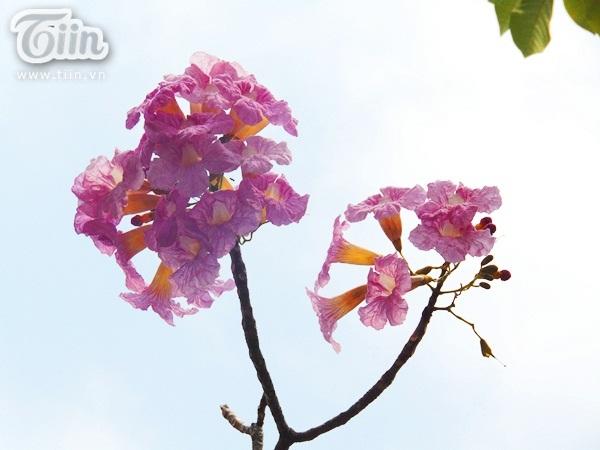 Từ cuối tháng 3 cây đã bắt đầu ra nụ và nở hoa vào đầu tháng tư. Lúc mới nở cánh hoa có màu tím và chuyển sang hồng phấn đẹp mắt khi trời không còn nắng.