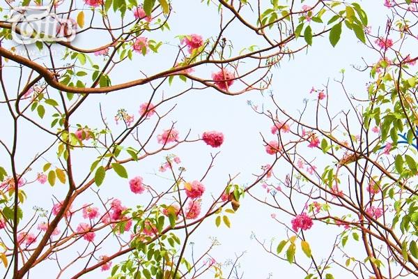 Không chỉ khiến người xem cảm thấy dễ chịu giữa những ngày nắng nóng, hoa kèn hồng còn điểm tô cho bầu trời Sài Gòn thêm phần mộng mơ.