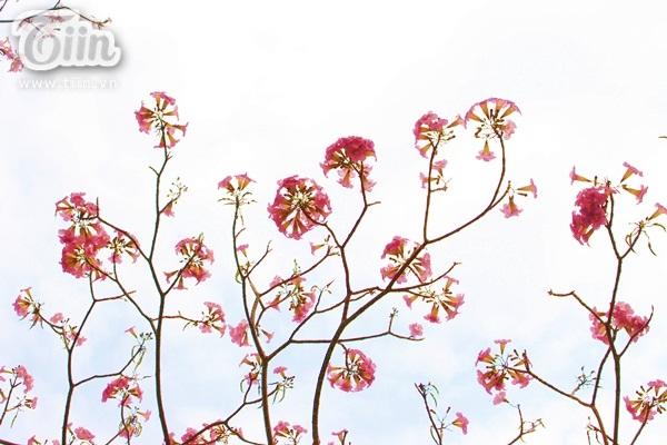 Loài hoa này chỉ nở rộ vào những ngày nắng nóng và hanh khô, thời tiết càng gay gắt cánh hoa càng tươi màu.