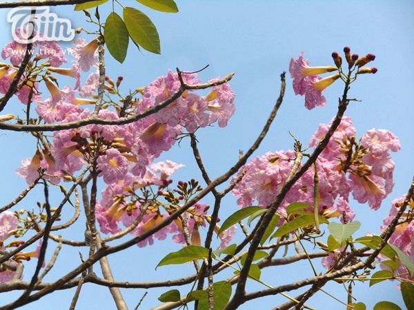 Sài Gòn tháng 4 rực rỡ với mùa hoa loa kèn 8