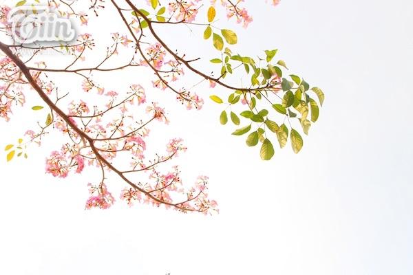Sài Gòn tháng 4 rực rỡ với mùa hoa loa kèn 12