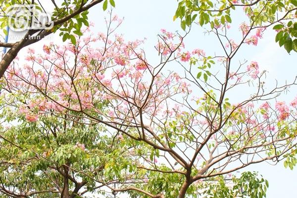 Sài Gòn tháng 4 rực rỡ với mùa hoa loa kèn 13