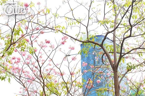 Từng chùm hoa như chấm vào trời xanh một màu hồng nhàn nhạt.