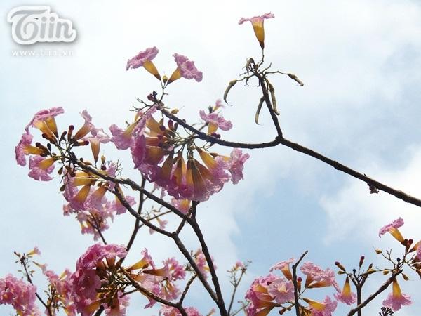 Mùa hoa kèn hồng cũng báo hiệu mùa thi sắp đến, sắp hải chia tay bè bạn, thầy cô và trường lớp.