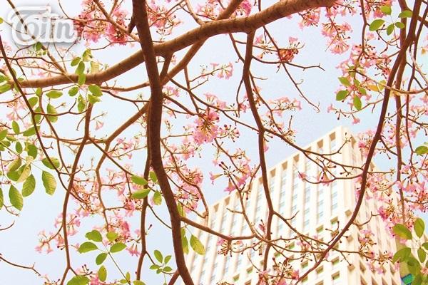 Một chút điểm tô của kèn hồng làm cho cái nắng của Sài Gòn bớt oi ả.