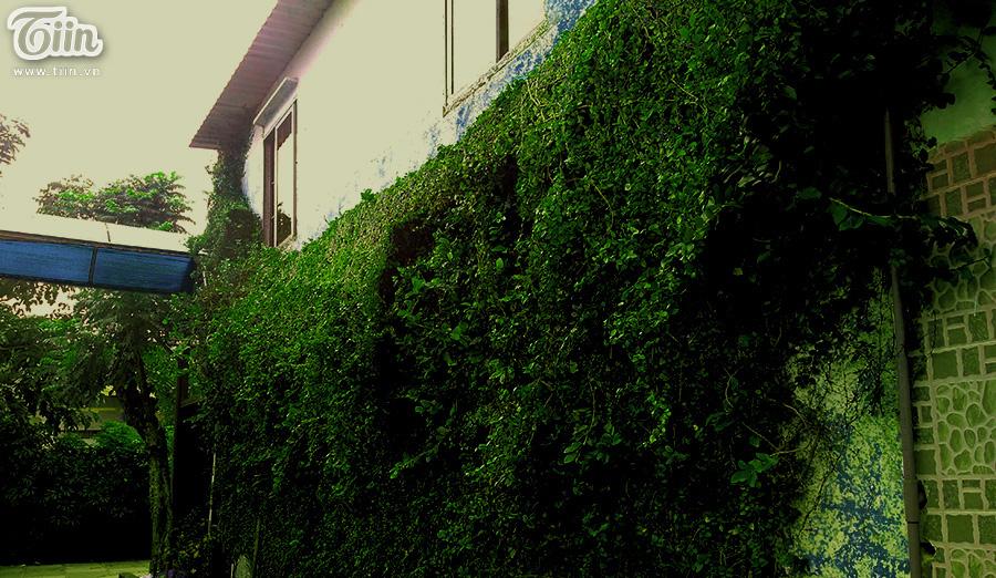 Mảng tường xanh ngút ngát dây leo.