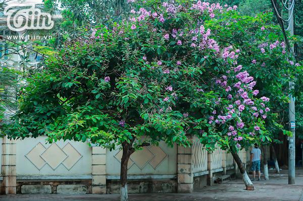 Có một mùa hoa tím gọi hè về trên phố Hà Nội 0