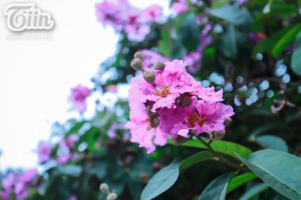 Có một mùa hoa tím gọi hè về trên phố Hà Nội 1