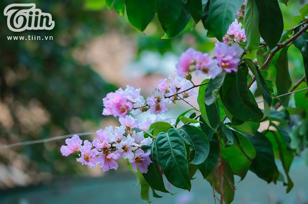 Có một mùa hoa tím gọi hè về trên phố Hà Nội 3
