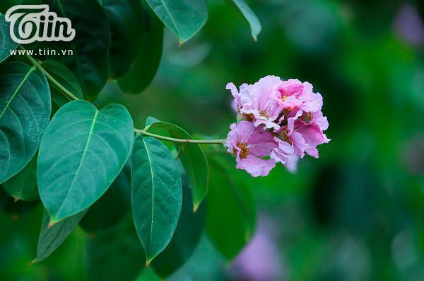 Có một mùa hoa tím gọi hè về trên phố Hà Nội 2