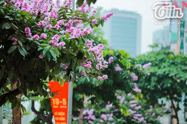 Có một mùa hoa tím gọi hè về trên phố Hà Nội 8