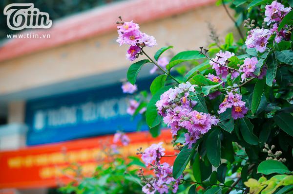 Có một mùa hoa tím gọi hè về trên phố Hà Nội 9