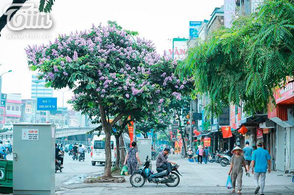 Có một mùa hoa tím gọi hè về trên phố Hà Nội 4