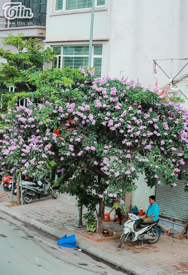 Có một mùa hoa tím gọi hè về trên phố Hà Nội 6