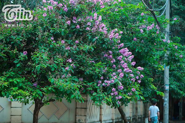 Có một mùa hoa tím gọi hè về trên phố Hà Nội 7