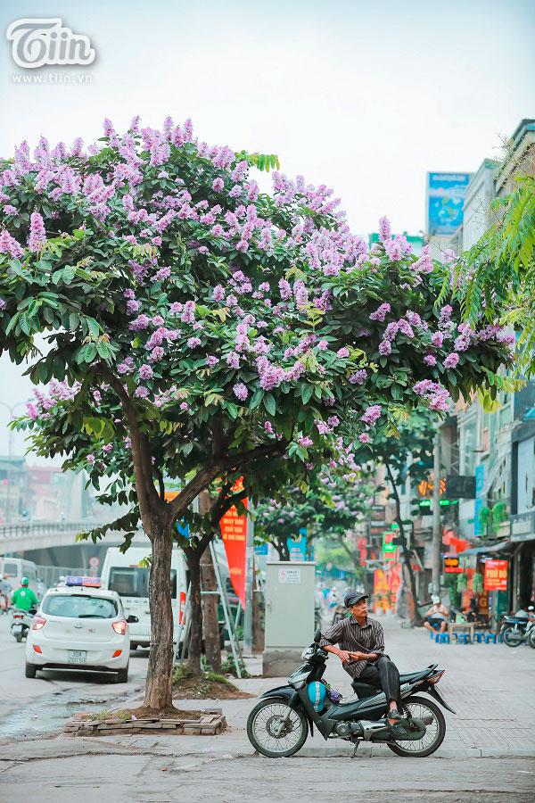 Có một mùa hoa tím gọi hè về trên phố Hà Nội 10