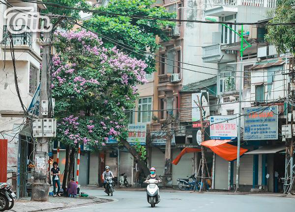 Có một mùa hoa tím gọi hè về trên phố Hà Nội 11