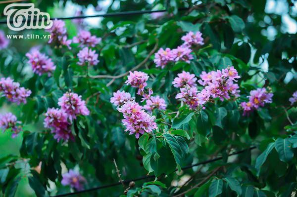 Có một mùa hoa tím gọi hè về trên phố Hà Nội 12