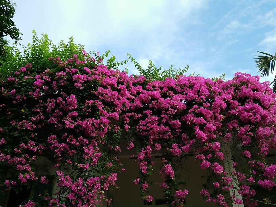 Được dịp, cư dân mạng bèn khoe ngay cây hoa giấy nhà mình - niềm ao ước của nhiều người khác (Ảnh: Nguyễn Thị Ngọc Trang)