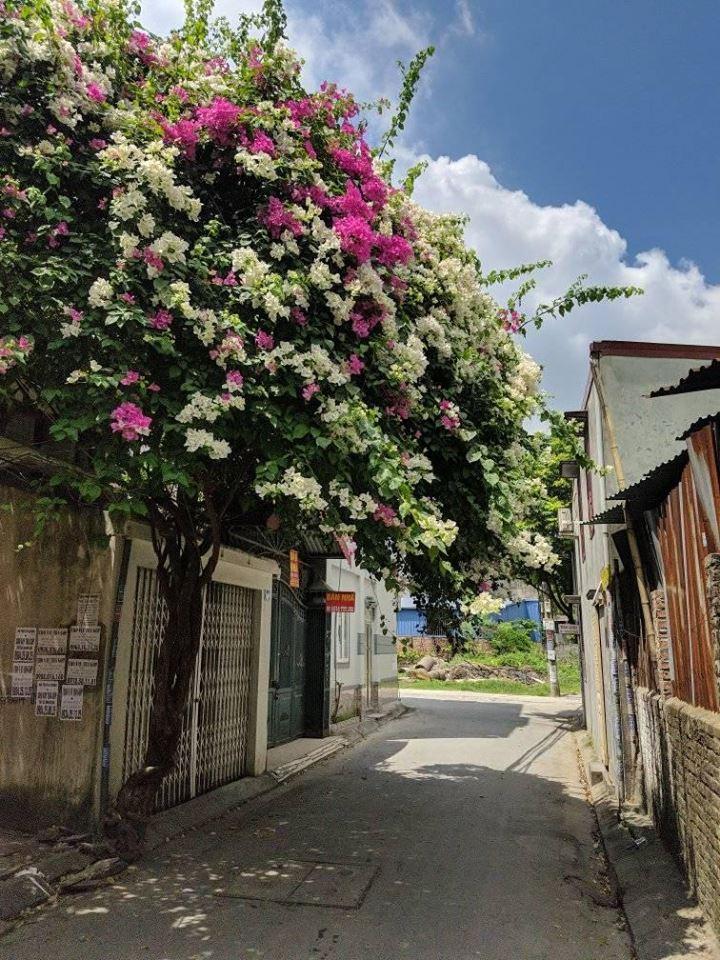 Giàn hoa giấy với sắc trắng và hồng khiến nổi bật cả con ngõ nhỏ (Ảnh: Trần Quốc Khiêm)