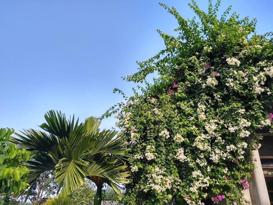 Giàn hoa này lại mang màu trắng muốt (Ảnh: Chinh Nguyễn)