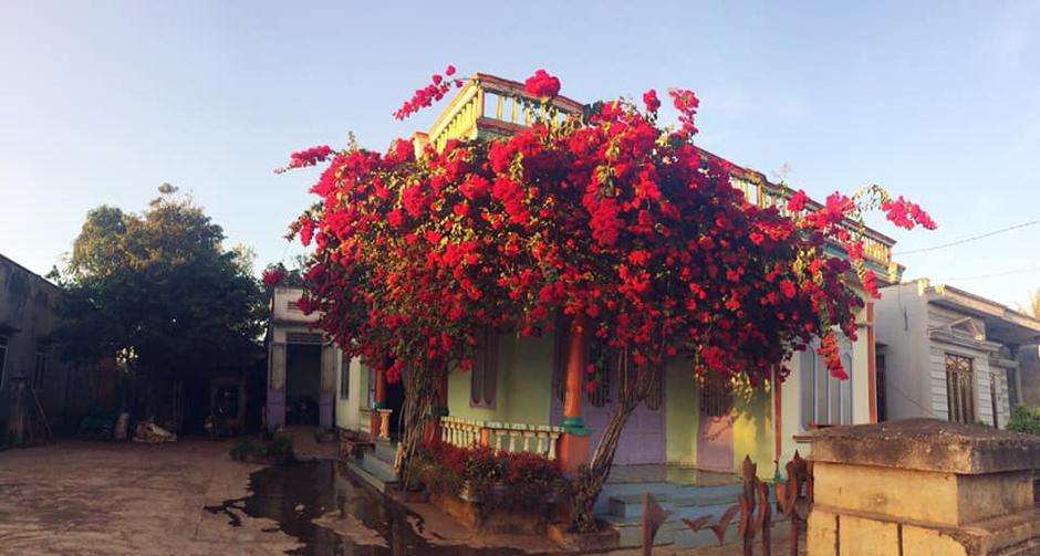 Nếu đi tới vùng Tây Nguyên, bạn sẽ phải ngạc nhiên khi hoa giấy nơi đây có sắc đậm đà và rực rỡ hơn nhiều những vùng khác. Điển hình là giàn hoa giấy đỏ, đẹp tới mức gắt gỏng này. (Ảnh: Quyên Quyên)