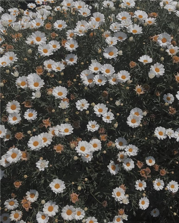Đến Đà Lạt vào tháng 6: Lạc lối trong màu trắng tinh khôi của vườn cúc họa mi bên bờ hồ 1