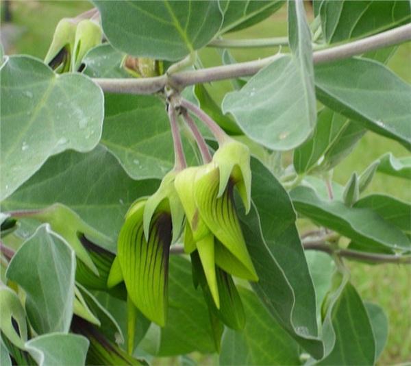 Phát sốt với loài hoa kì lạ và bí ẩn có hình dáng như một chú chim ruồi tí hon nằm gọn trong lòng bàn tay 2